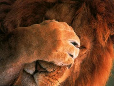 Ma préférée d'hara-kiri !. Lion-d10