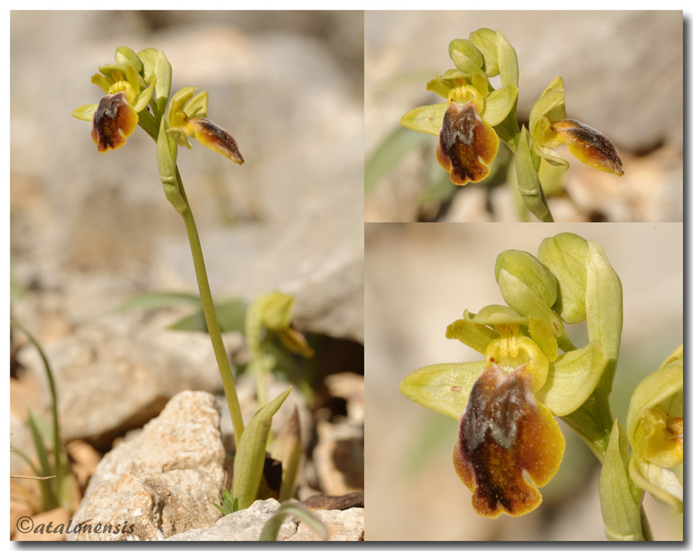 Ophrys lutea X marmorata (syn. bilunulata) Xlutea11