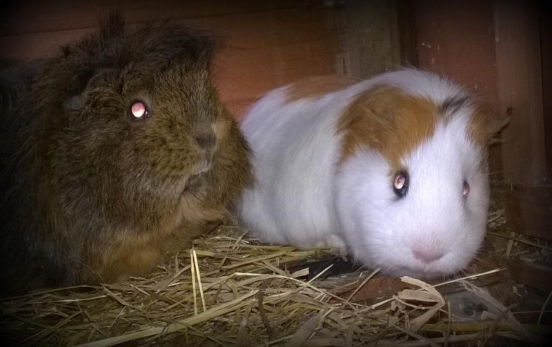 Curly et Cacahouete, cochons d'inde femelles Wp_20110