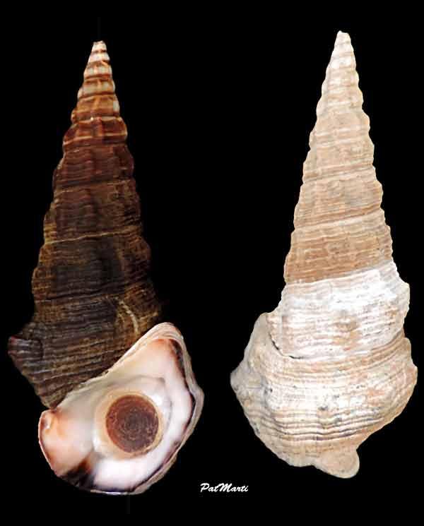 Batillariidae - Pyrazus ebeninus - (Bruguière, 1792) Pyrazu10