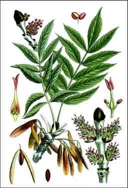 12 herbes médicinales à connaître absolument Frene210