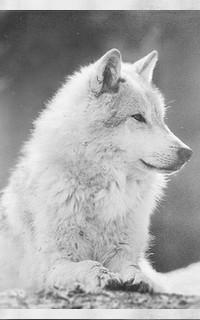 ✖ LISTING D'AVATAR ✖ Wolf11
