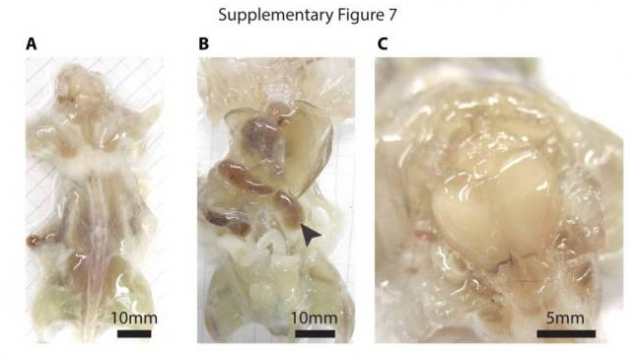 Shkencëtarët kanë krijuar minj të tejdukshëm për të shëruar sëmundje Shkenc10