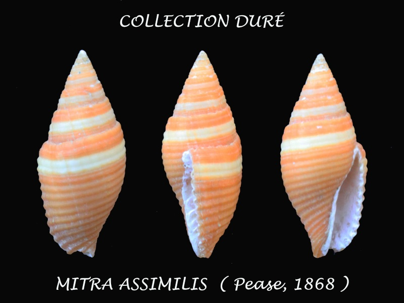 Strigatella assimilis - (Pease, 1868)  Panora15