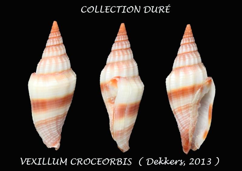 Vexillum croceorbis - Dekkers, 2013  Panora29