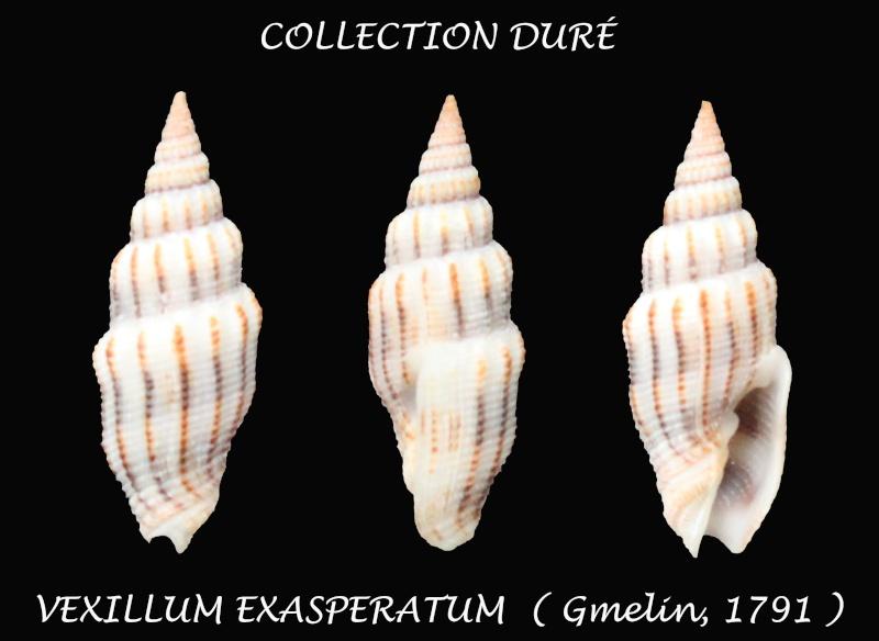 Vexillum echinatum - (A. Adams, 1853)  - Page 2 Panora30