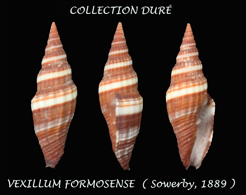 Vexillum formosense - (G. B. Sowerby III, 1889) Panora31