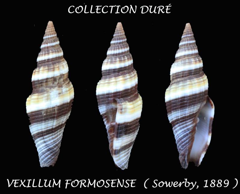 Vexillum formosense - (G. B. Sowerby III, 1889) Panora32