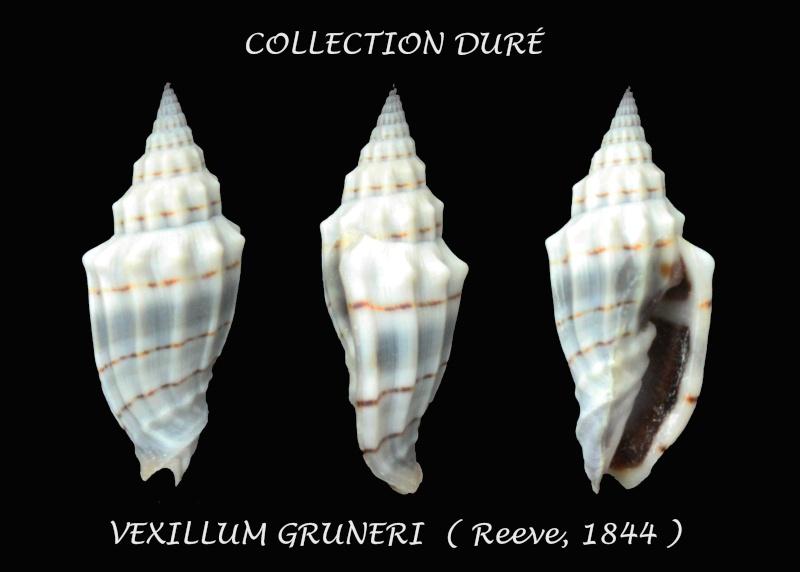 Vexillum gruneri - (Reeve, 1844) Panora34
