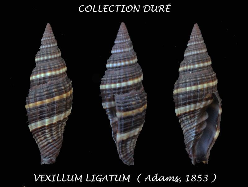 Vexillum ligatum - (A. Adams, 1853)  Panora35