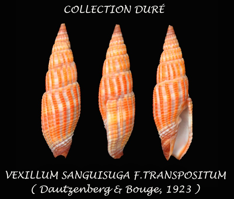 Vexillum transpositum - (Dautz & Bouge 1923) Panora37