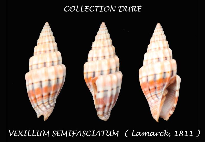 Vexillum semifasciatum - (Lamarck, 1811)  Panora38