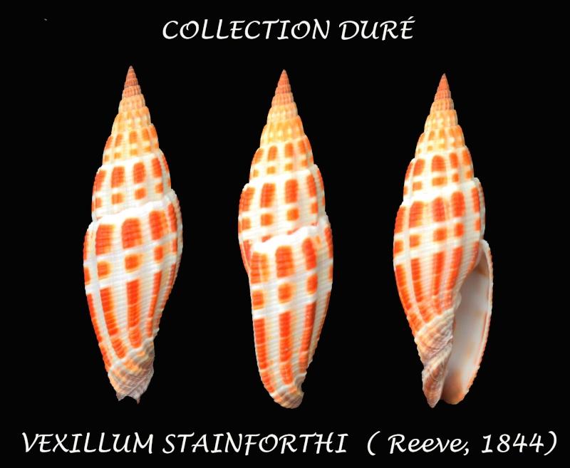 Vexillum stainforthii - (Reeve, 1842) Panora39