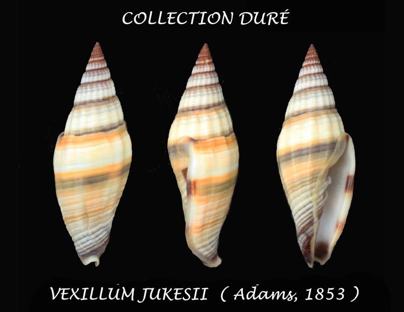 Vexillum vulpecula - Linnaeus, 1758 Panora41