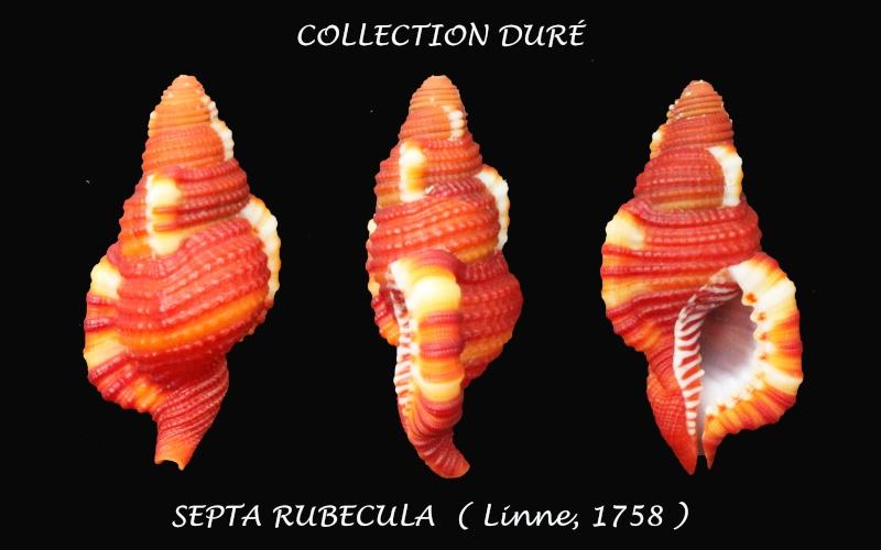 Septa rubecula - (Linnaeus, 1758) Panora42