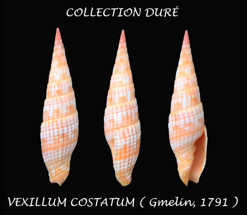 Vexillum costatum - (Gmelin, 1791) Panora56