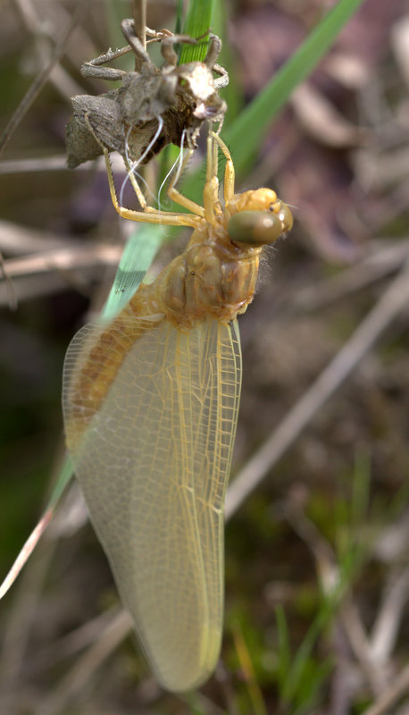 la première espèce de l'année (Sympecma fusca) Img_0011