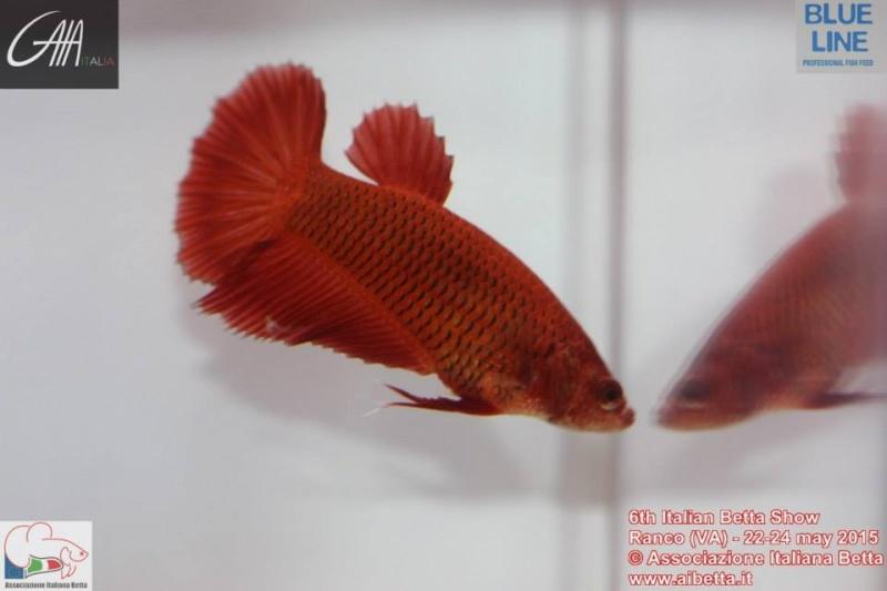 Femelle HM rouge  11107111