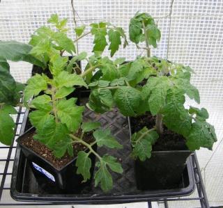 Tomato Tuesday 2015 Dscf1113