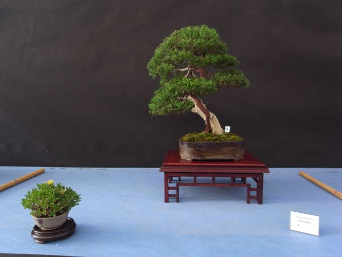 Mostra bonsai Competition 5 (Oltreilverde) A18