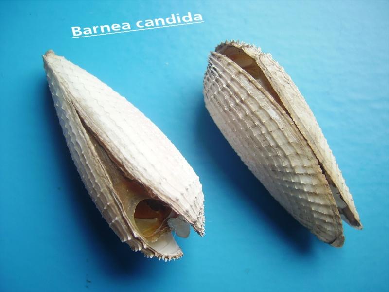 Pholas dactylus - Linnaeus, 1758 Barnya10