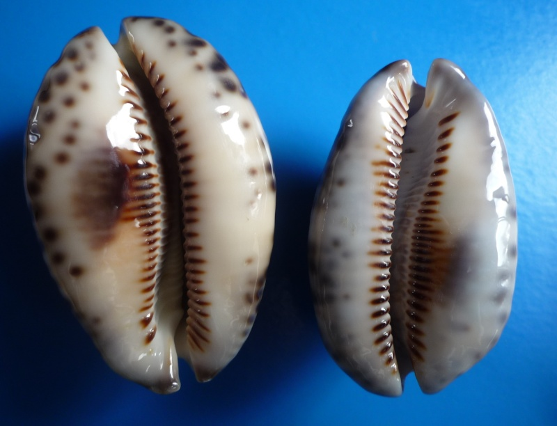 "Mauritia arabica arabica - (Linnaeus, 1758) - ""Néo calédonienne"" avec tache ! Cyp_ma10"