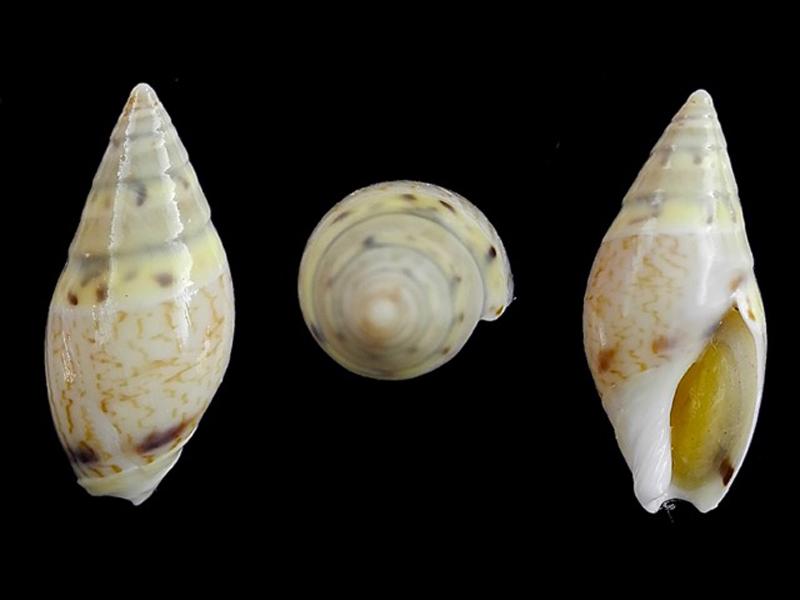 Amalda lineata - Kiener, 1844 Amalda34