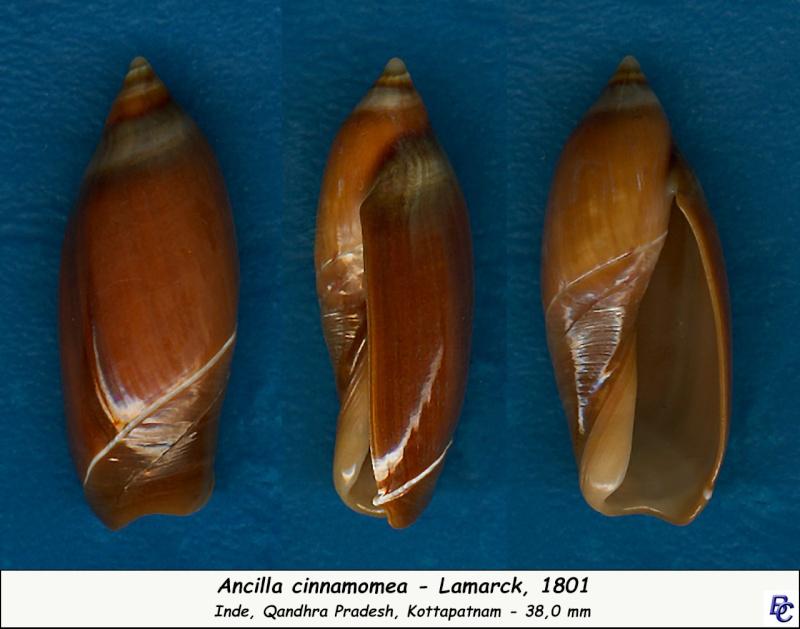 Ancilla cinnamomea - Lamarck, 1801 Ancill13