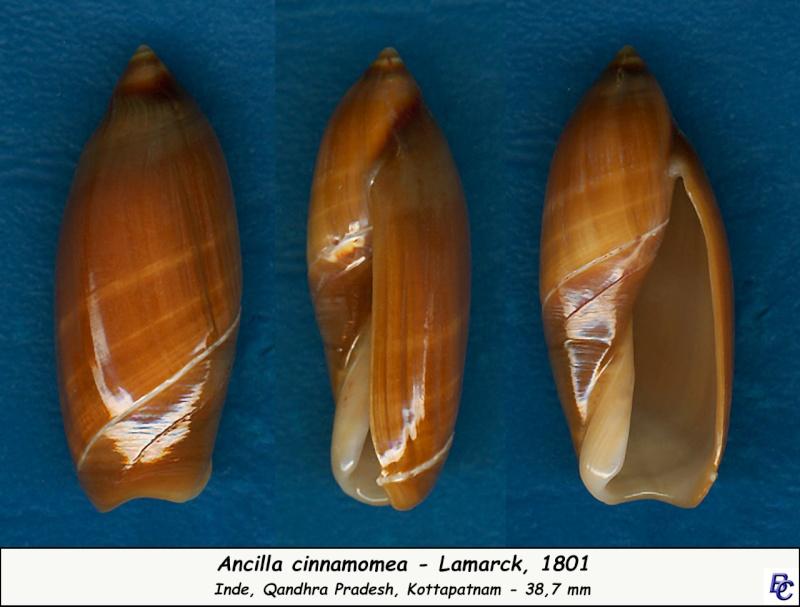 Ancilla cinnamomea - Lamarck, 1801 Ancill14