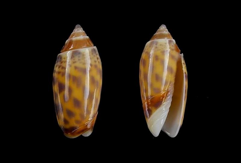 Annulatoliva buelowi phuketensis (Tursch, Germain & Greifeneder, 1986) Annula23