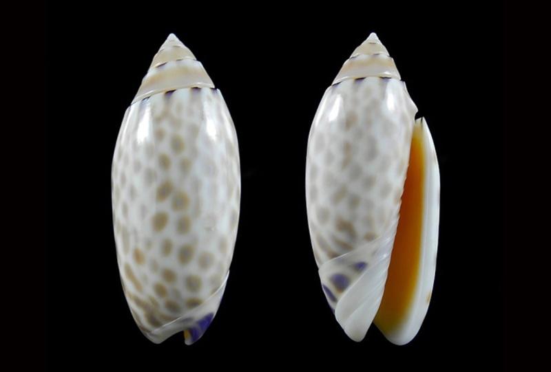 Annulatoliva maculata (Duclos, 1840) - Worms = Oliva maculata Duclos, 1840 Annula24