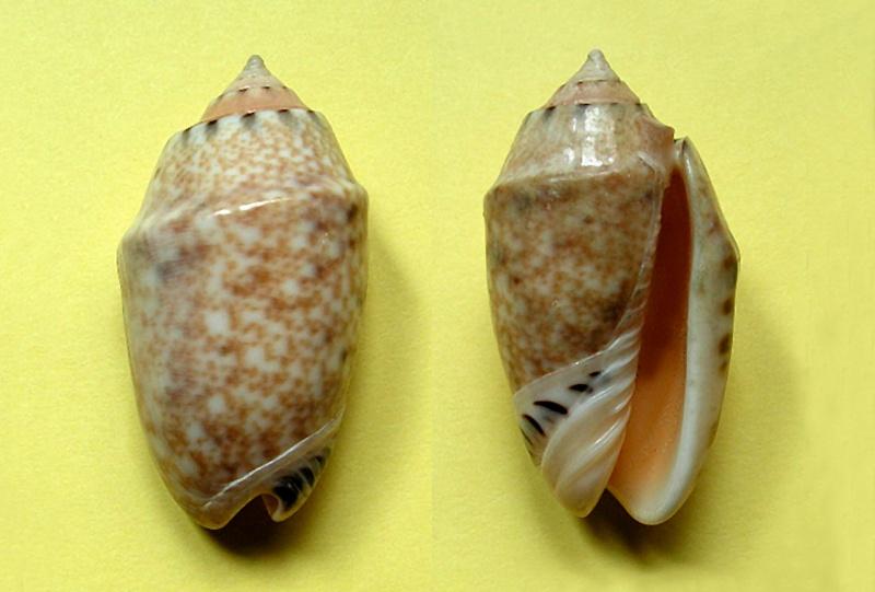 Annulatoliva mantichora (Duclos, 1840) - Worms = Oliva mantichora Duclos, 1840 Annula27