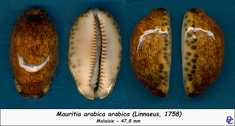Mauritia arabica arabica - (Linnaeus, 1758)  - Rusty Arabic10