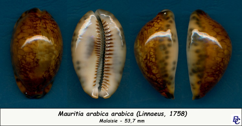 Mauritia arabica arabica - (Linnaeus, 1758)  - Rusty Arabic11
