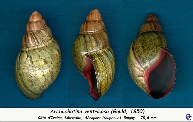 Archachatina ventricosa (Gould, 1850) Archac10