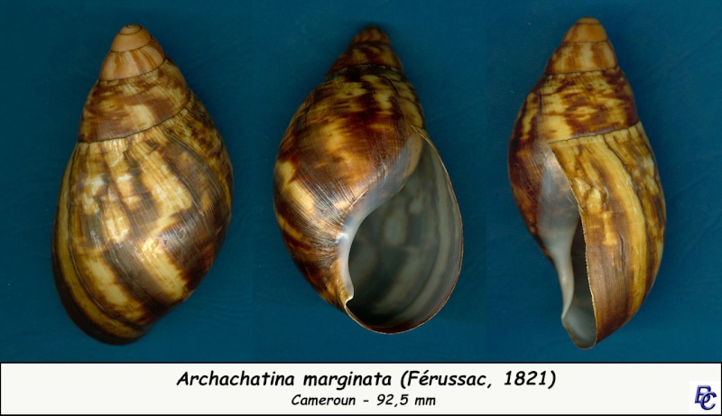 Archachatina marginata (Swainson, 1821) Archac11