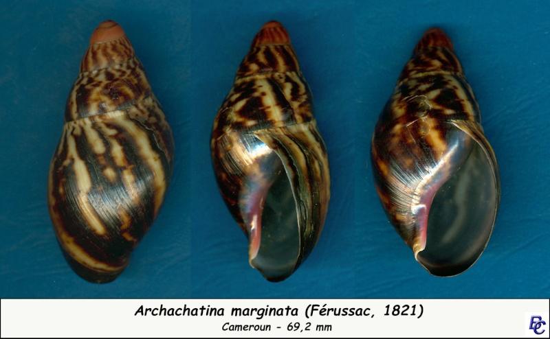 Archachatina marginata (Swainson, 1821) Archac12