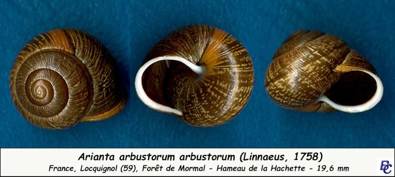 Arianta arbustorum arbustorum (Linnæus, 1758) - Page 2 Ariant12