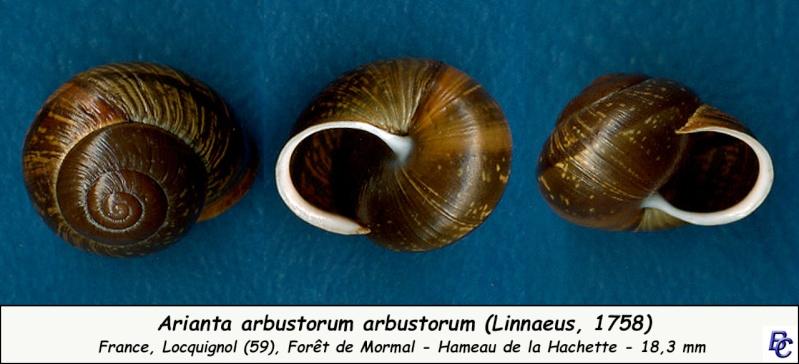 Arianta arbustorum arbustorum (Linnæus, 1758) - Page 2 Ariant13