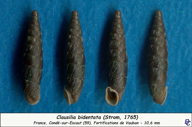 Clausilia bidentata (Strøm, 1765) Clausi11