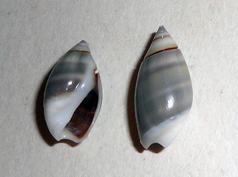 Olivella columellaris (GB Sowerby I, 1825) ou  Pachyoliva columellaris (GB Sowerby I, 1825 Dscn0412