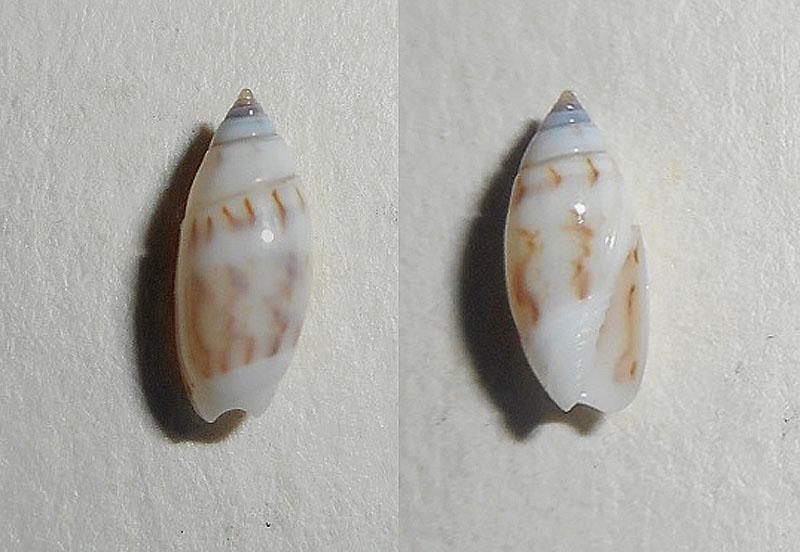 Olivella dealbata - (Reeve, 1850)  voir Dactylidia mica (Duclos, 1835) Dscn0413