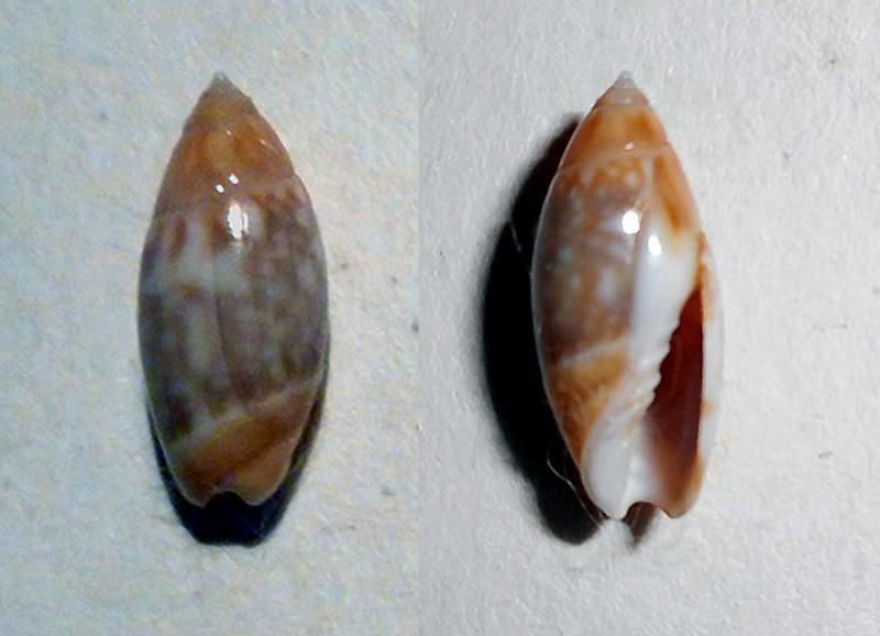 Olivella tergina - (Duclos, 1835) &  Olivella salinasensis - Bartsch,1928 Dscn0414