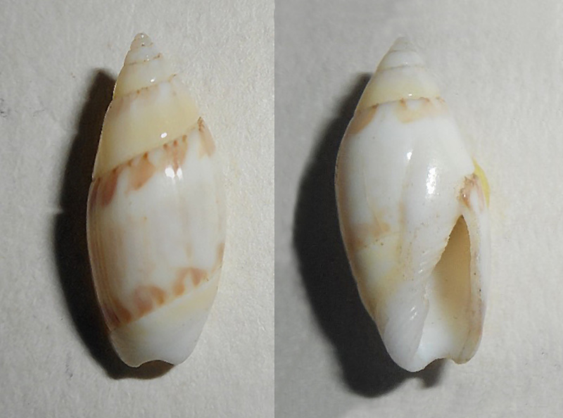 Olivella nivea chiriquiensis - Olsson, 1956 Dscn0510