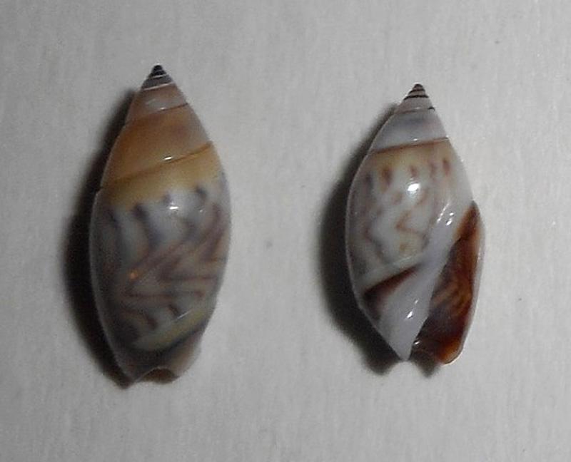 Olivella petiolita (Duclos, 1835) Dscn2610