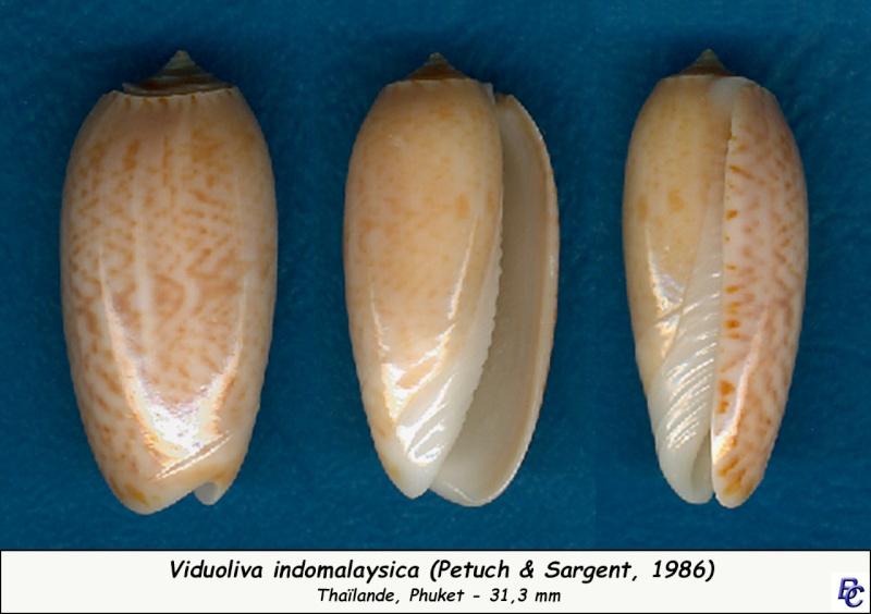 Viduoliva indomalaysica (Petuch et Sargent, 1986) Indoma13
