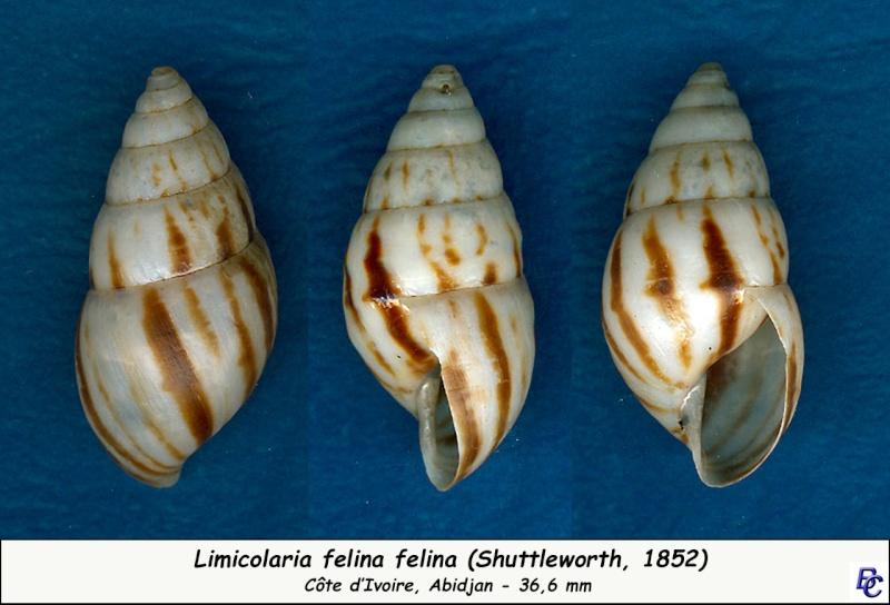 Limicolaria felina Shuttleworth, 1852 - Page 2 Limico10