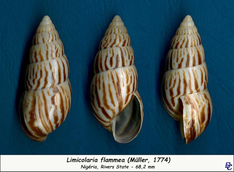 Limicolaria flammea (Müller, 1774) Limico12