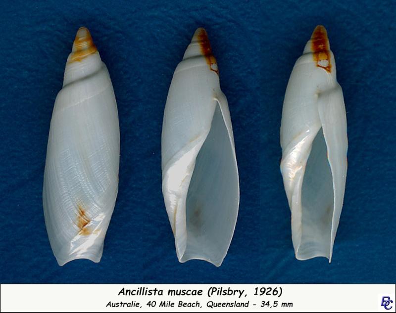 Ancillista muscae - (Pilsbry, 1926) Muscae10
