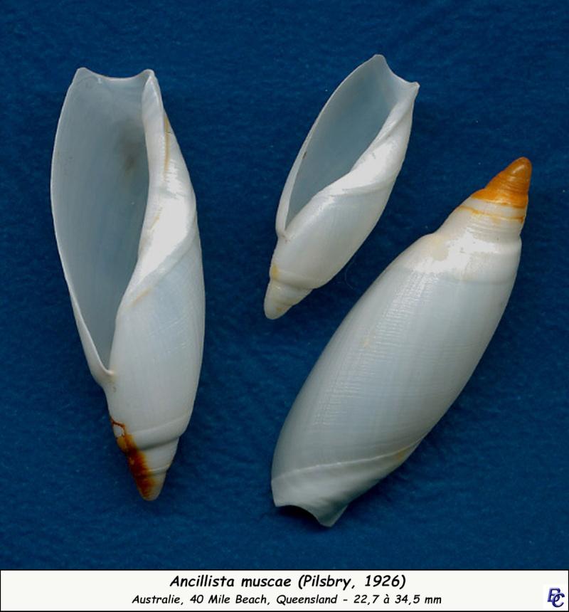 Ancillista muscae - (Pilsbry, 1926) Muscae11